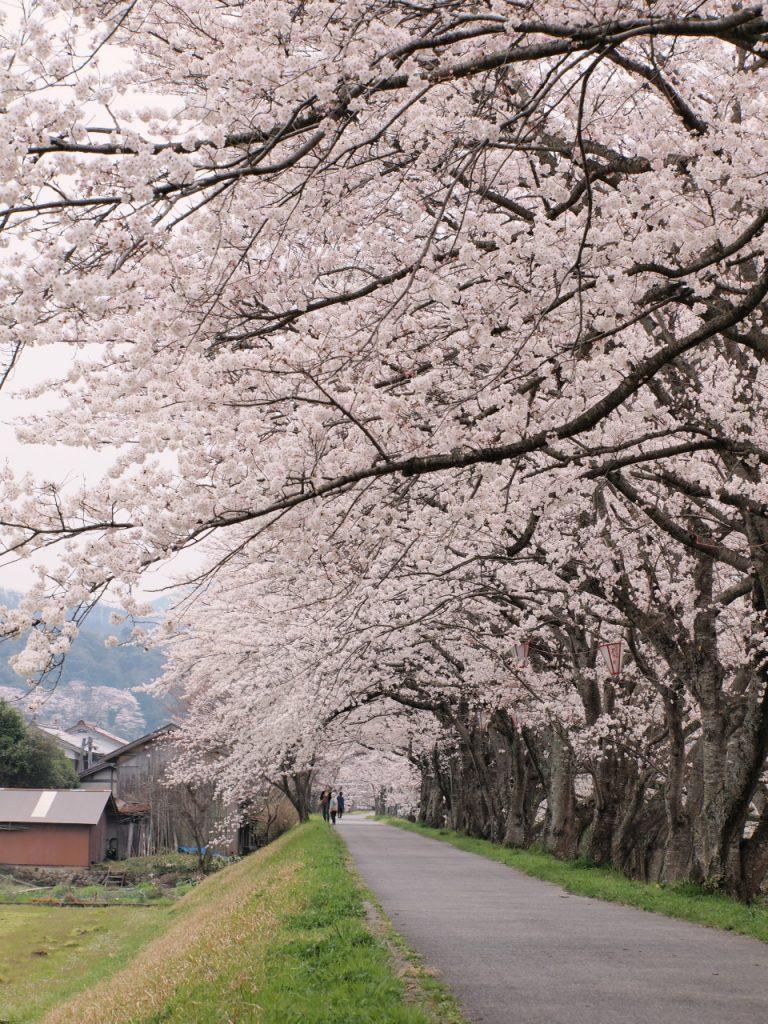 法勝寺川の桜並木