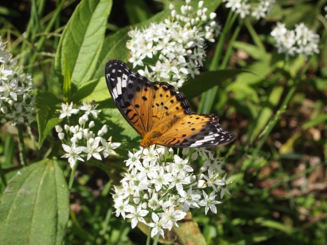 にらの花と蝶